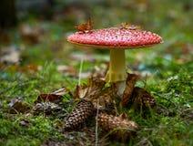 Muscaria tossico dell'amanita del fungo Fotografie Stock Libere da Diritti