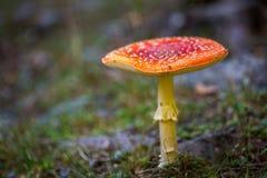 Muscaria tossico dell'amanita del fungo Fotografie Stock
