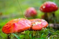 Muscaria tossico dell'amanita del fungo Fotografia Stock