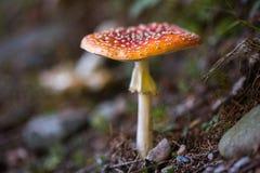 Muscaria tossico dell'amanita del fungo Immagini Stock Libere da Diritti