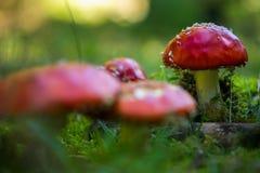 Muscaria tossico dell'amanita del fungo Immagine Stock