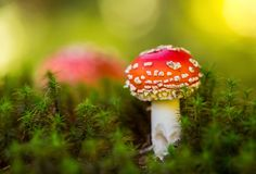 Muscaria tossico dell'amanita del fungo Immagine Stock Libera da Diritti