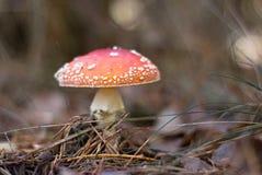 Muscaria van de amaniet Stock Fotografie