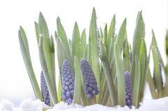 Muscariarmeniacumbotryoides eller druvahyacint i snön royaltyfri bild