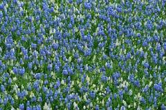 Muscariblauw en wit Royalty-vrije Stock Fotografie