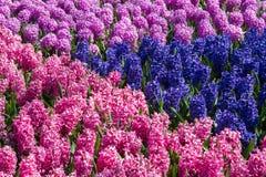 Muscariblommor i holland arbeta i trädgården Keukenhof, Nederländerna Royaltyfri Fotografi