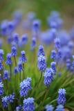 Muscariblumen auf Blumenbeet Stockfotografie
