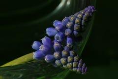 Muscaribotryoides Royaltyfria Bilder