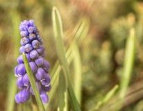 Muscarin blu crescente Fotografia Stock Libera da Diritti