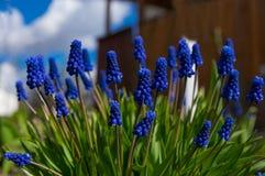 Muscarin?rbild, bl?a purpurf?rgade blommor Perenna lökformiga växter royaltyfri fotografi