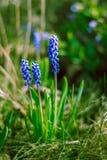 Muscarinahaufnahme im grünen Frühlingsgras Lizenzfreies Stockfoto
