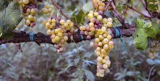 Muscat druvor Fotografering för Bildbyråer
