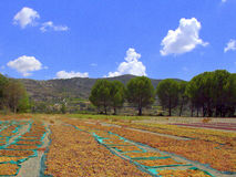 Muscat druvor i solen Fotografering för Bildbyråer