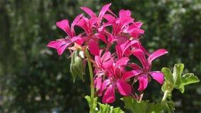 Muscat Flower – Balcony Flowers. Flower of Muscat 4K UHD 2160 stock video