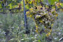 Muscat Grapes Stock Images