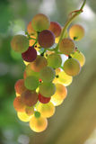 Muscat Grapes with back lighting Stock Images