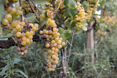 Muscat grapes Stock Photo