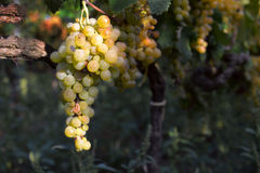 Muscat grapes Royalty Free Stock Photography