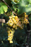 Muscat grapes Royalty Free Stock Image