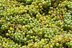 Muscat (white) Grapes Royalty Free Stock Photography