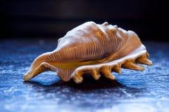 Muschel auf einem blauen Hintergrund Stockfoto