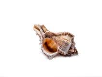 Muschel auf einem weißen Hintergrund für Isolierung Stockbild