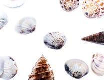Muschel auf einem weißen Hintergrund für Isolierung Stockfotos