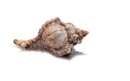 Muschel auf einem weißen Hintergrund für Isolierung Lizenzfreies Stockfoto