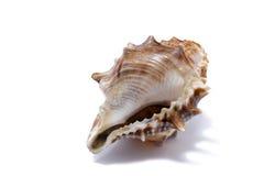 Muschel auf einem weißen Hintergrund für Isolierung Lizenzfreies Stockbild