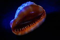 Muschel in der Dunkelheit mit blauer Hintergrundbeleuchtung Stockbilder