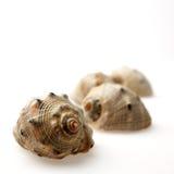 Muscheln auf Weiß Lizenzfreie Stockfotos
