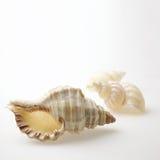 Muscheln auf Weiß Lizenzfreies Stockfoto