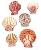 Muscheln in den verschiedenen Farben Lizenzfreie Stockfotos