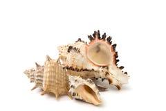 Muscheln lokalisiert über weißem Hintergrund Stockfoto