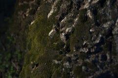 Muschio Fotografia Stock