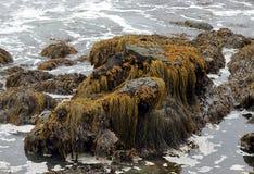Muschio, alghe ed alga su una grande roccia nelle acque basse fotografia stock