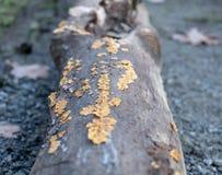 Muschio arancio fotografie stock