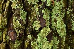Muschio che cresce su un albero Immagine Stock Libera da Diritti