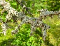 Muschio che cresce su un albero in una foresta Immagini Stock