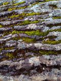 Muschio che cresce sulla roccia Immagini Stock