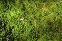Muschio con i ramoscelli Immagini Stock Libere da Diritti