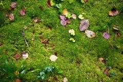 Muschio con la foresta di autunno Immagini Stock Libere da Diritti