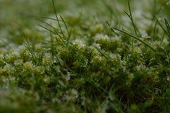 Muschio congelato fra l'erba Fotografia Stock Libera da Diritti