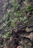 Muschio dell'albero Immagini Stock Libere da Diritti