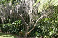 Muschio dell'albero che ciondola dall'albero Fotografie Stock Libere da Diritti
