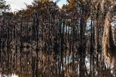 Muschio dell'albero della palude Fotografie Stock