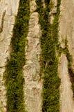 Muschio della corteccia di albero Immagini Stock