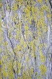 Muschio della corteccia di albero Immagine Stock