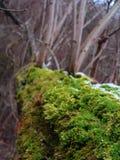 Muschio della foresta su una fine dell'albero sulla macro foto Fotografie Stock