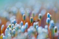 Muschio di fioritura Fotografia Stock Libera da Diritti
